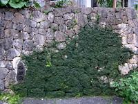 オオイタビ(大崖石榴)